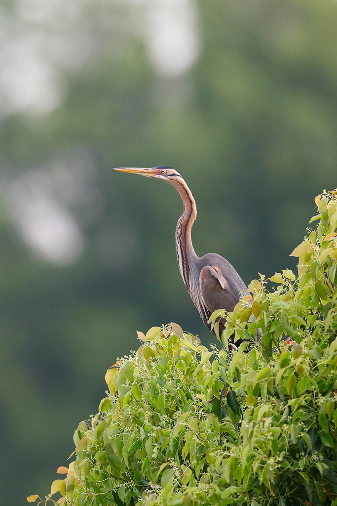 Purple Heron / Blagowan, KwaZulu Natal, South Africa / November 2020