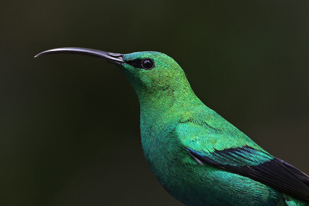 Malachite Sunbird / Balgowan, KwaZulu Natal, South Africa / February 2021