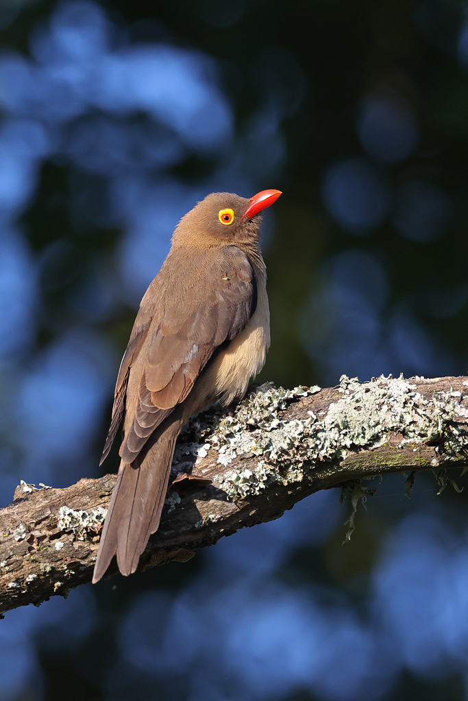 Red-billed Oxpecker / Tala Game Reserve, KZN, South Africa / June 2021