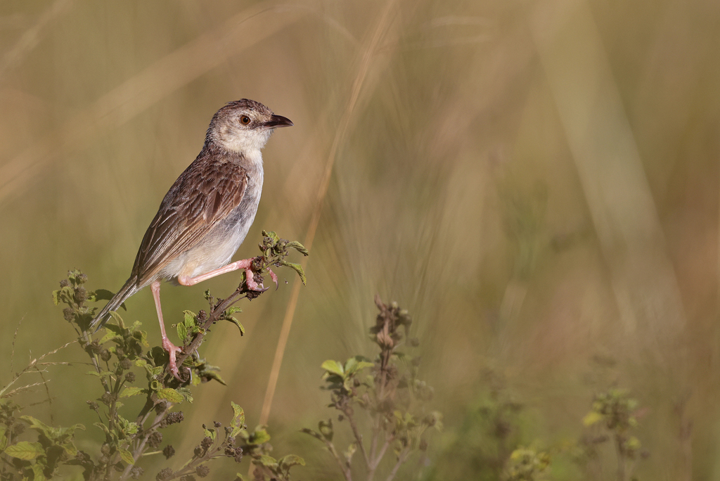 Croaking Cisticola / Tala Game Reserve, KZN, South Africa – March 2021