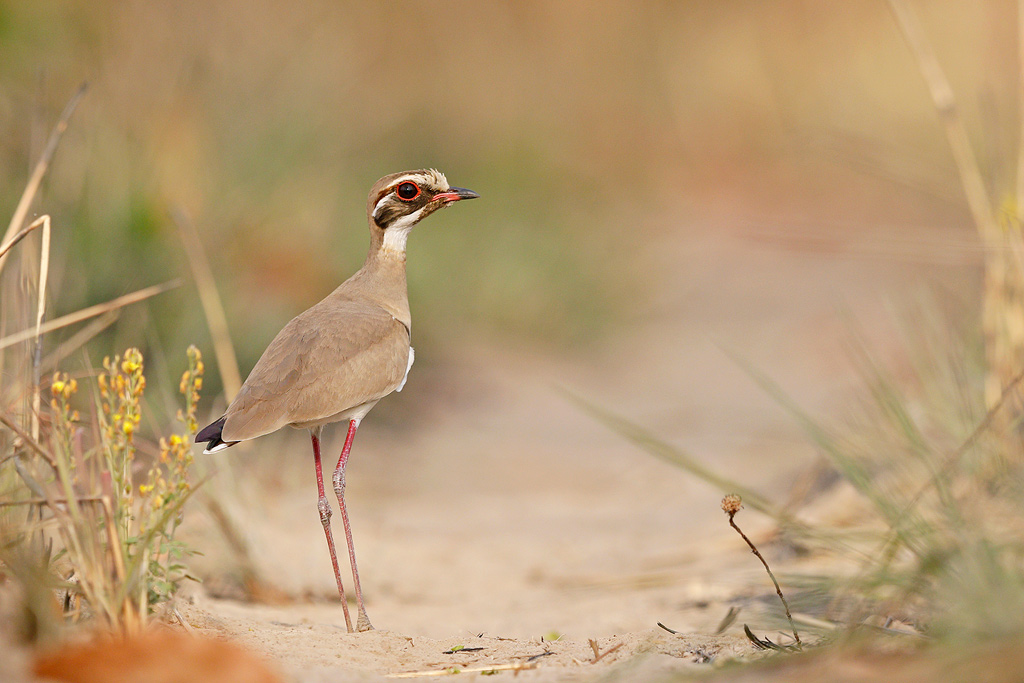 Bronze-winged Courser