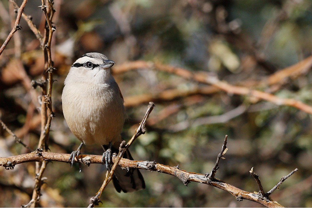 Brown-crowned Tchagra / Tswalu Game Reserve, South Africa / 13 June 2015