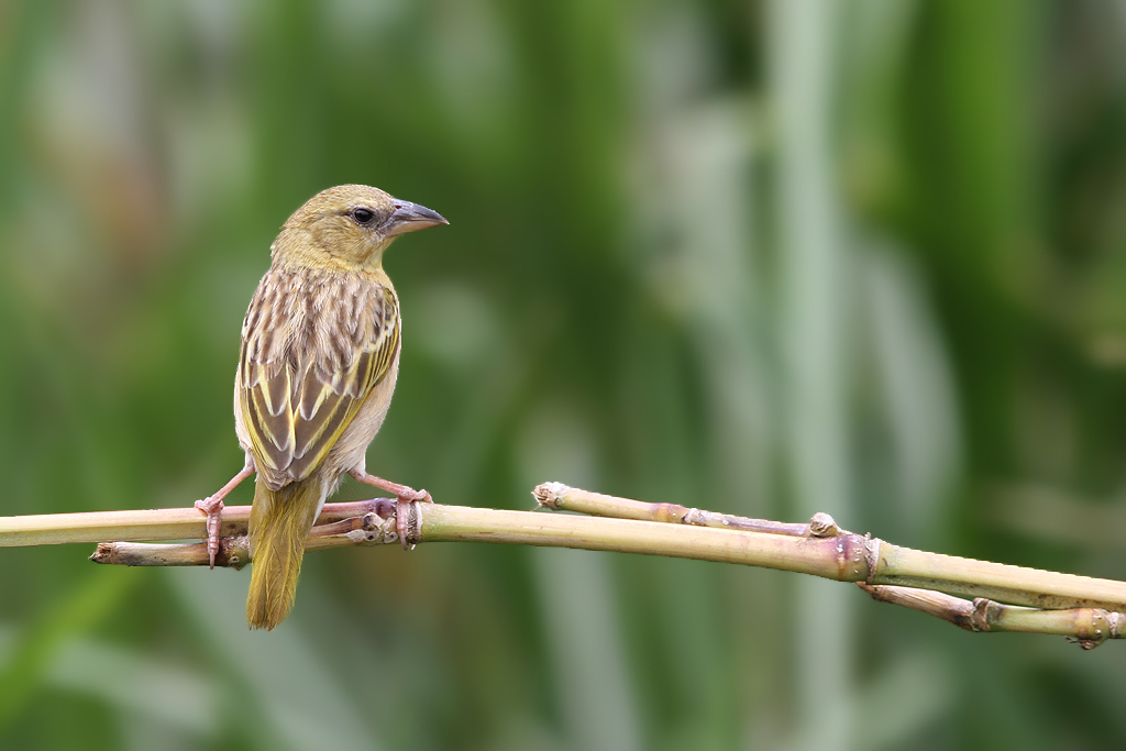Southern Brown-throated Weaver (female) / Sappi Stanger Bird Hide, South Africa / 17 December 2013 (Edited)