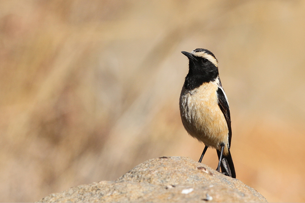 Buff-streaked Chat / Dullstroom, South Africa / 19 July 2014