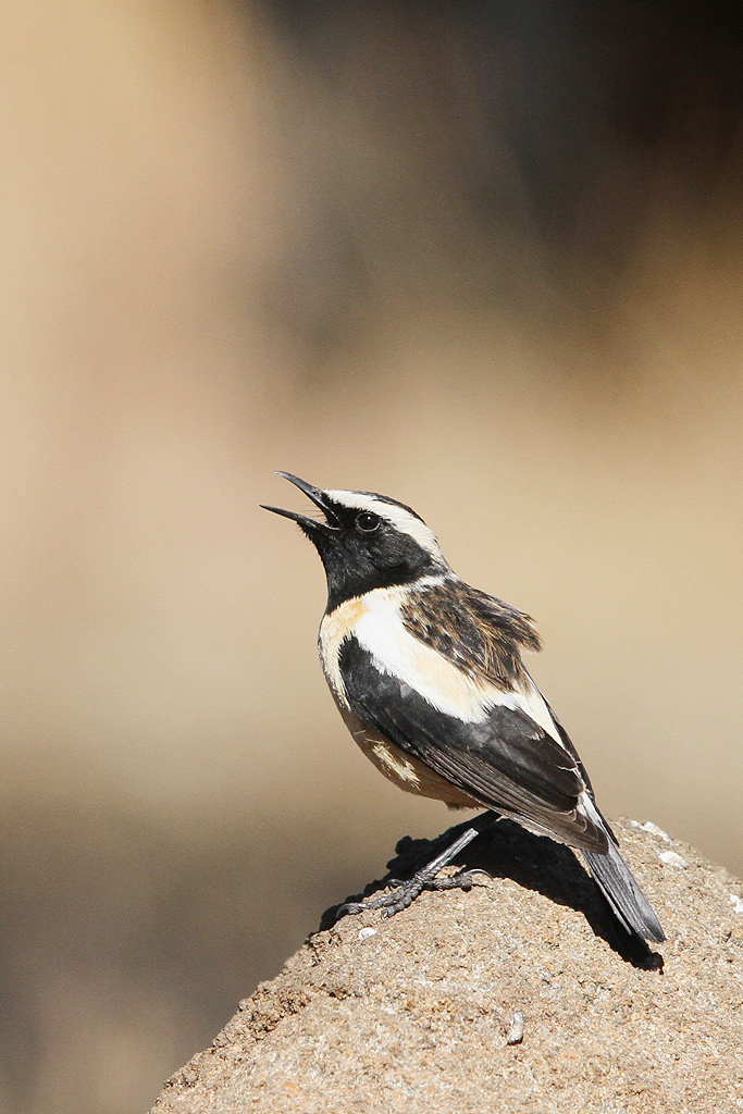 Buff-streaked Chat (Male) / Eland's Valley, Dullstroom, South Africa / 19 July 2014