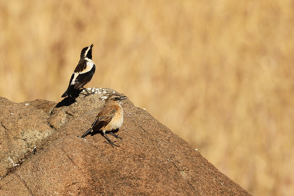 Buff-streaked Chat / Eland's Valley, Dullstroom, South Africa / 19 July 2014