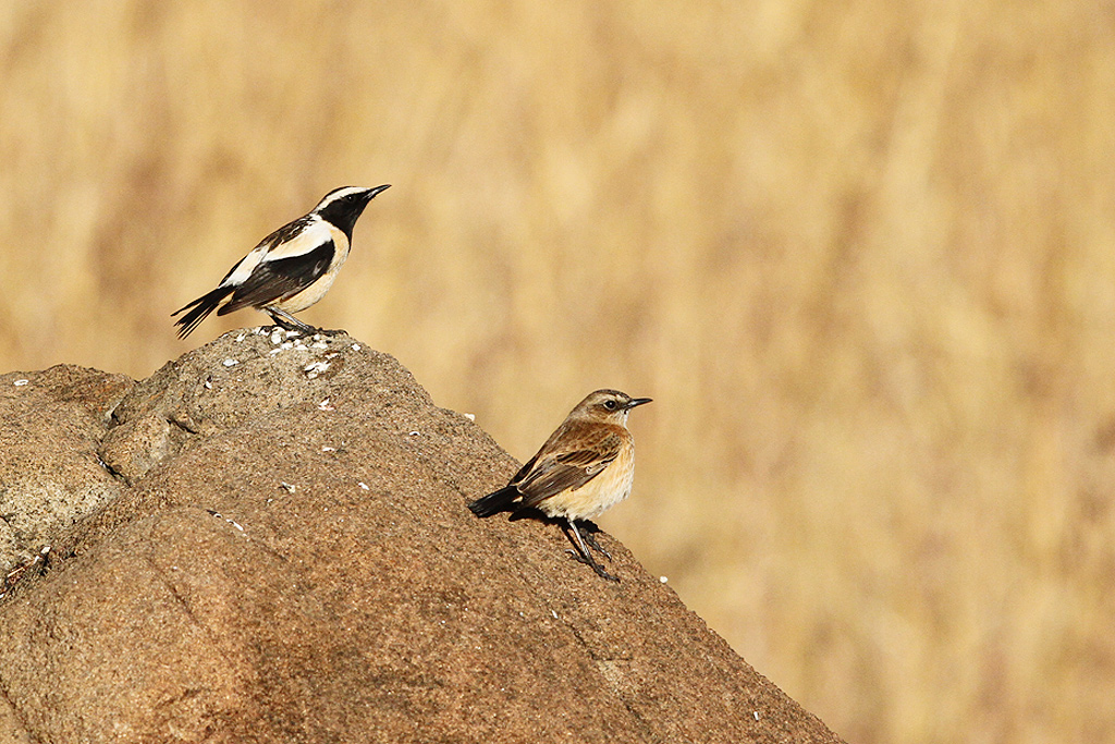 Buff-streaked Chat (Male & Female) / Eland's Valley, Dullstroom, South Africa / 19 July 2014
