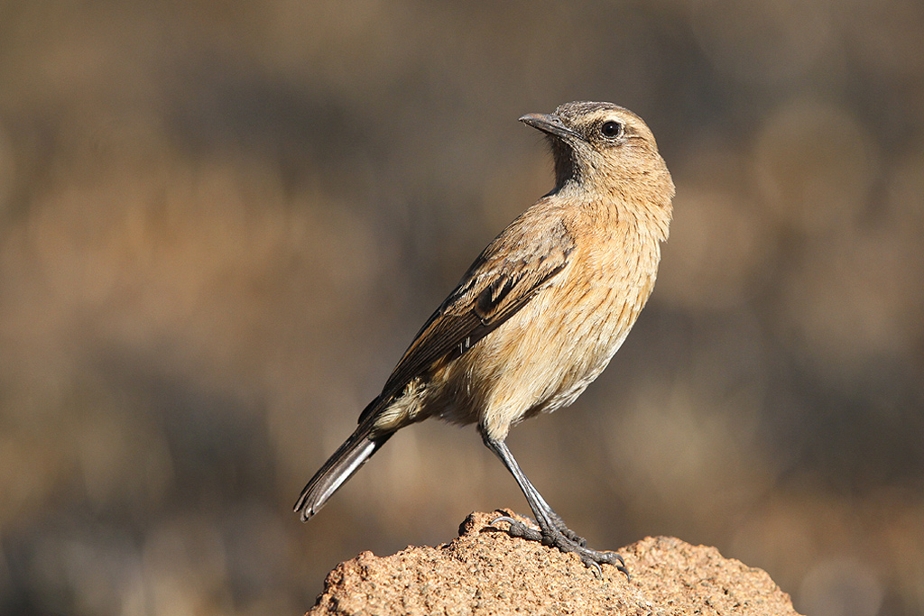 Buff-streaked Chat (Female) / Eland's Valley, Dullstroom, South Africa / 19 July 2014