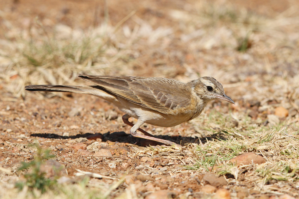 Buffy Pipit / Pilanesberg National Park, South Africa / 05 September 2014