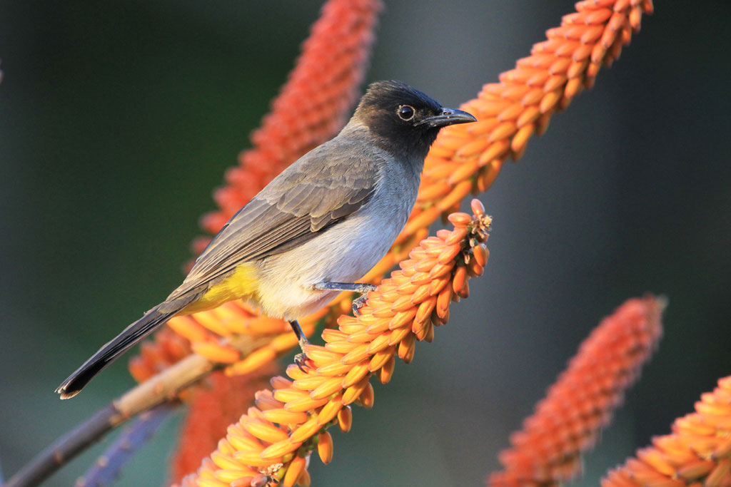 Dark-capped or Common Bulbul (Layardi) / Skukuza, Kruger National Park, South Africa / 27 June 2012