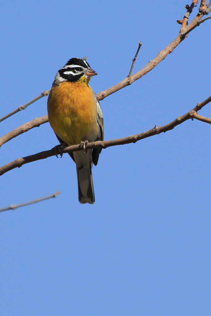 Golden-breasted Bunting (Princeps) / Shamvura, Northern Namibia / 20 July 2012