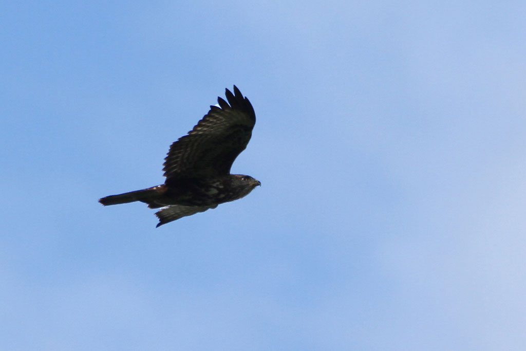 Forest Buzzard / Royal Natal National Park, South Africa / 31 March 2012
