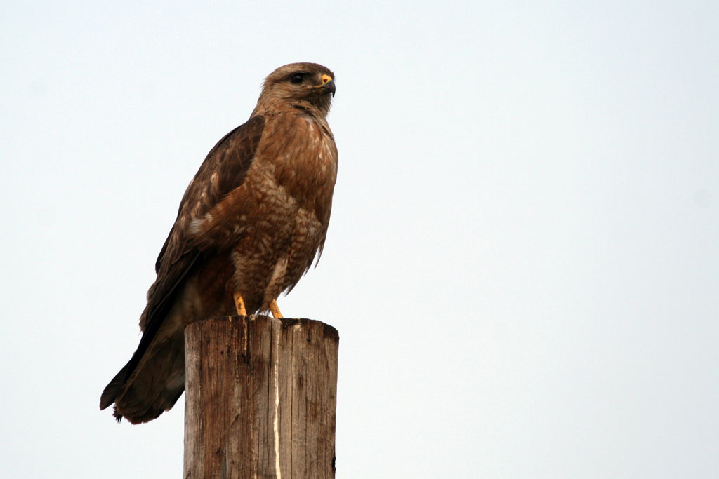 Steppe Buzzard / Pilansberg National Park, South Africa / 23 October 2010