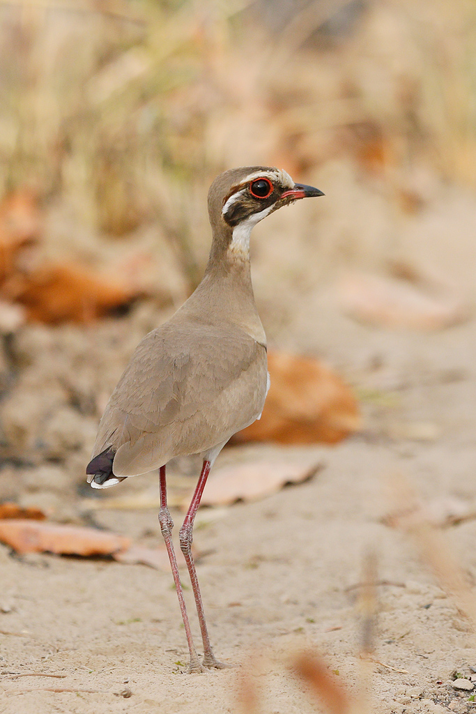 Bronze-winged Courser / near Benoue National Park, Cameroon / 24 January 2017