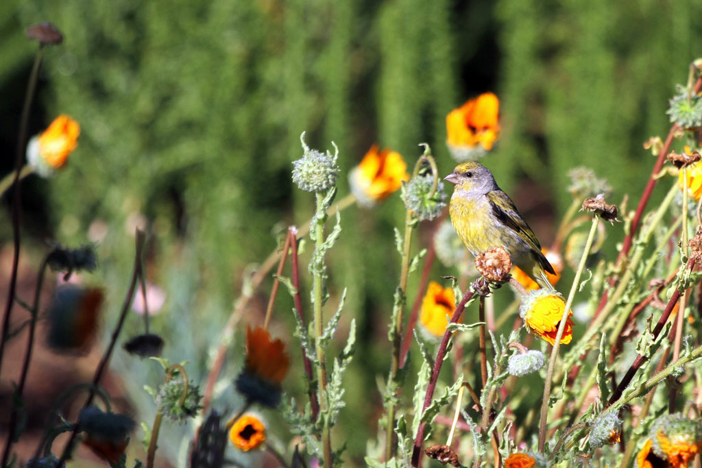 Cape Canary / Kirstenbosch Gardens, South Africa / 28 January 2011