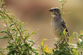 White-throated Canary (Sordahlae) / Klein Aus Vista, Southern Namibia / 05 July 2012