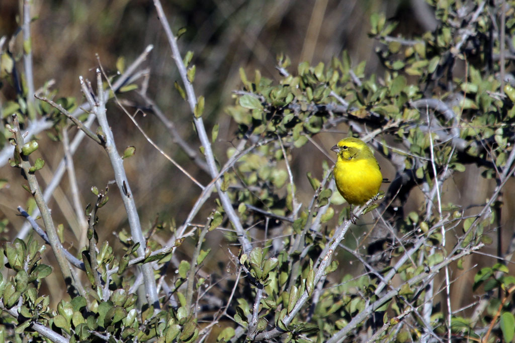 Yellow Canary (Marshalli) / Suikerbosrand Nature Reserve, South Africa / 28 May 2011