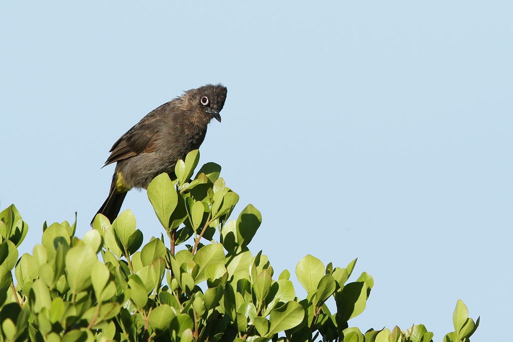 Cape Bulbul / Llandudno, Cape Town, South Africa / Janaury 2014