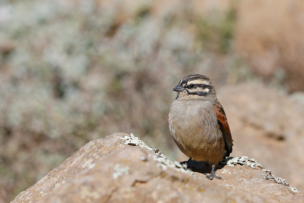 Cape Bunting / Sani Pass, KZN, South Africa / 16 April 2015