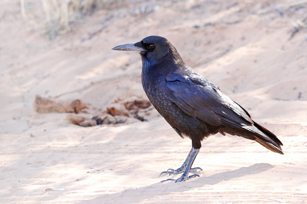 Cape or Black Crow / Dertiende Boorgat, Kgalagadi Transfrontier Park, South Africa / 20 June 2014