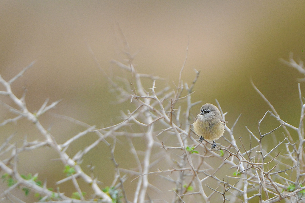 Cape-Penduline Tit / West Coast National Park, South Africa / 23 May 2015