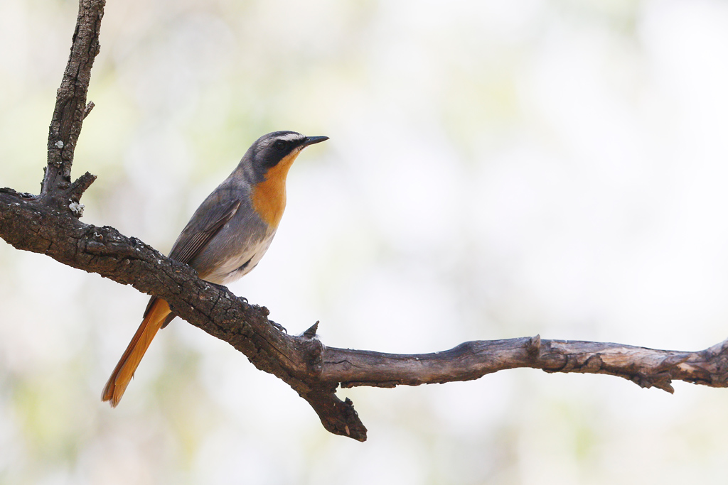 Cape Robin-chat / Kololo Game Reserve, Vaalwater, South Africa / 25 September 2015