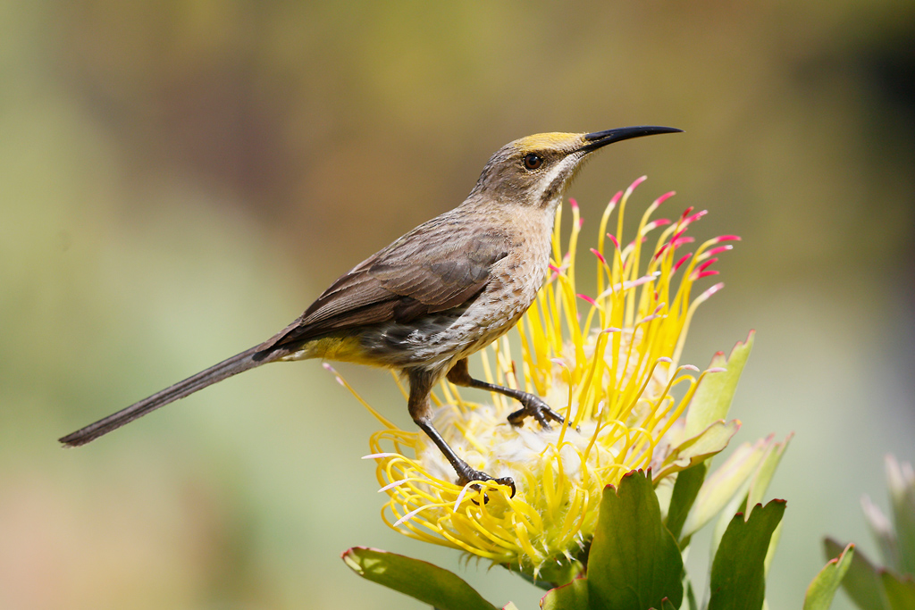 Cape Sugarbird / Kirstenbosch Gardens, Cape Town, South Africa / 23 December 2014
