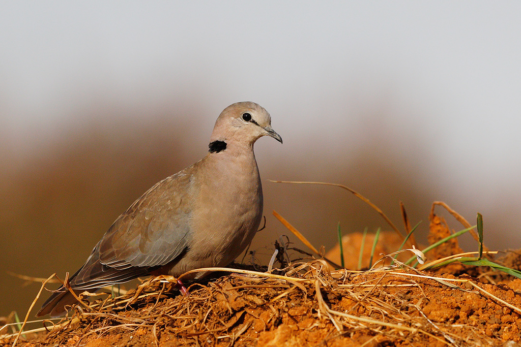 Cape Turtle Dove / Underberg, South Africa / 19 April 2015