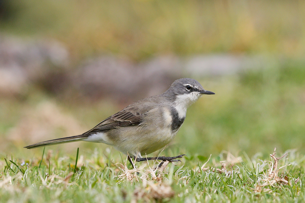 Cape Wagtail / Giant's Castle Gardens, Underberg, KZN, South Africa / 16 April 2015