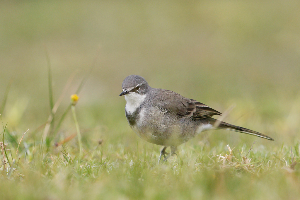 Cape Wagtail – Bird & Wildlife Photography by Richard and ...