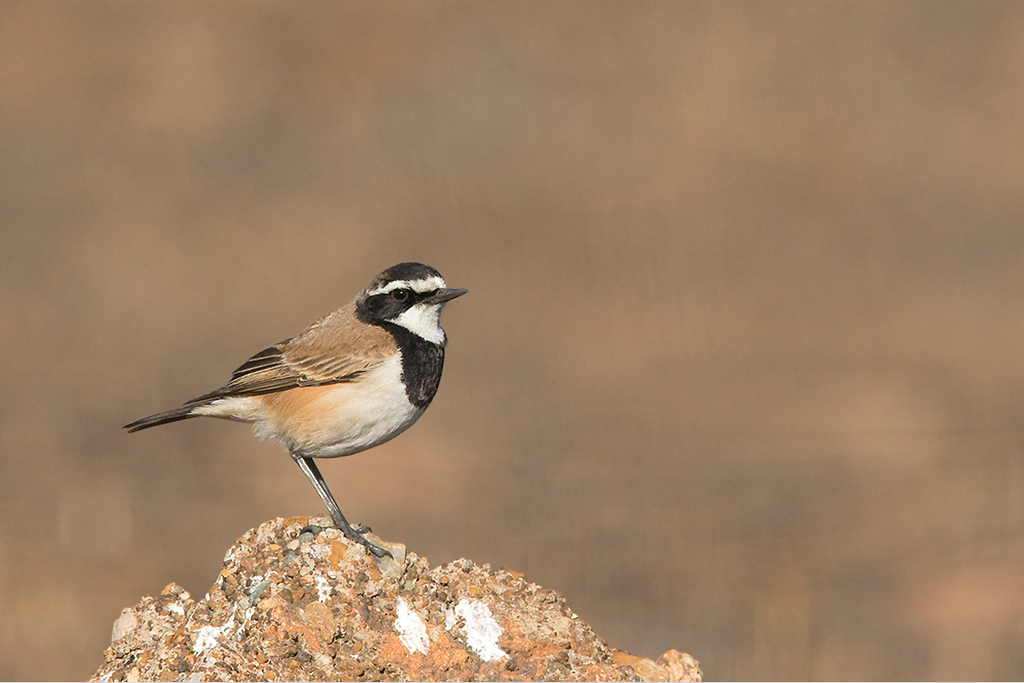 Capped Wheatear / Eendracht Road, Suikerbosrand, South Africa / 12 July 2015