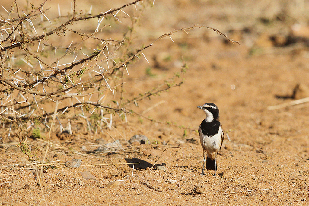 Capped Wheatear / Pilanesberg National Park, South Africa / 06 September 2014