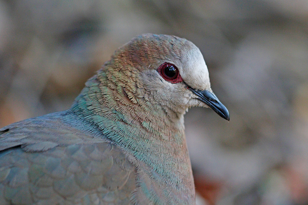 Lemon or Cinnamon Dove / The Cavern, Northern Drakensberg, South Africa / 05 September 2016