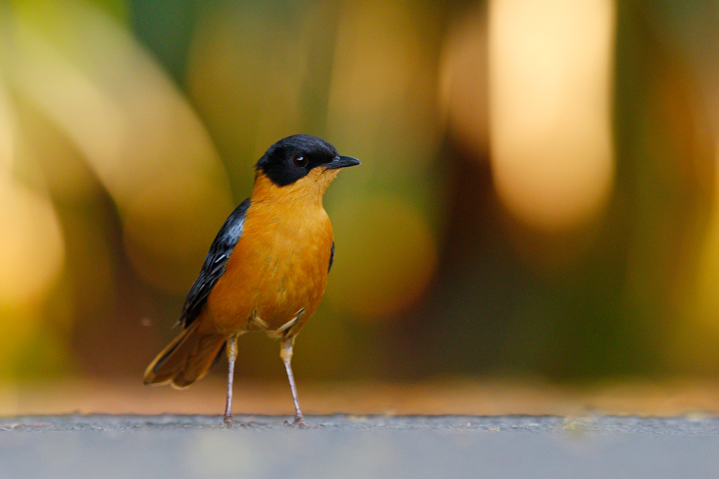 Chorister Robin-chat / The Cavern, Central Drakensberg, South Africa
