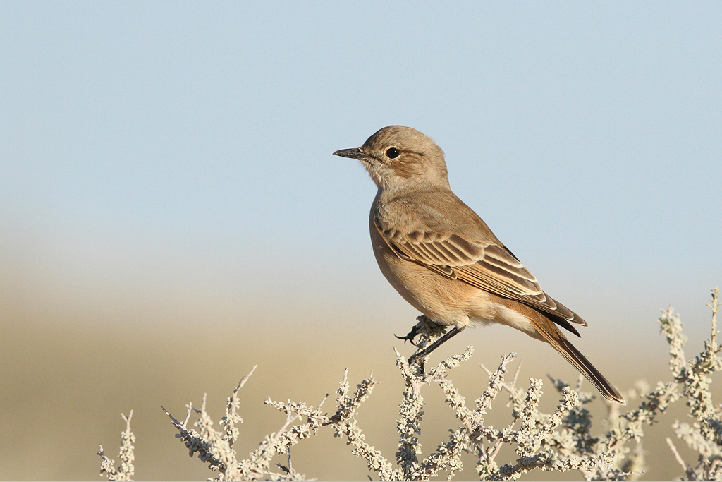Chat Flycatcher / Kgalagadi Transfrontier Park, South Africa / 15 June 2014