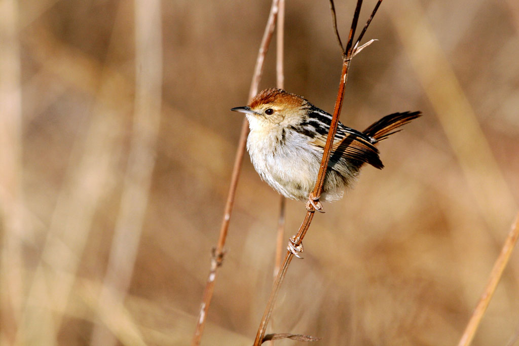 Levaillant's Cisticola (Tinniens) / Suikerbosrand Nature Reserve, South Africa / 10 July 2010