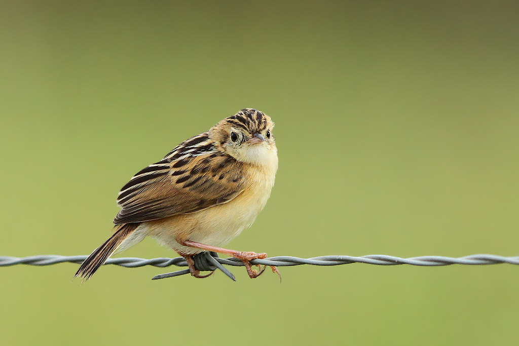 Wing-snapping (or other) Cisticola / Devon, South Africa / 22 February 2014