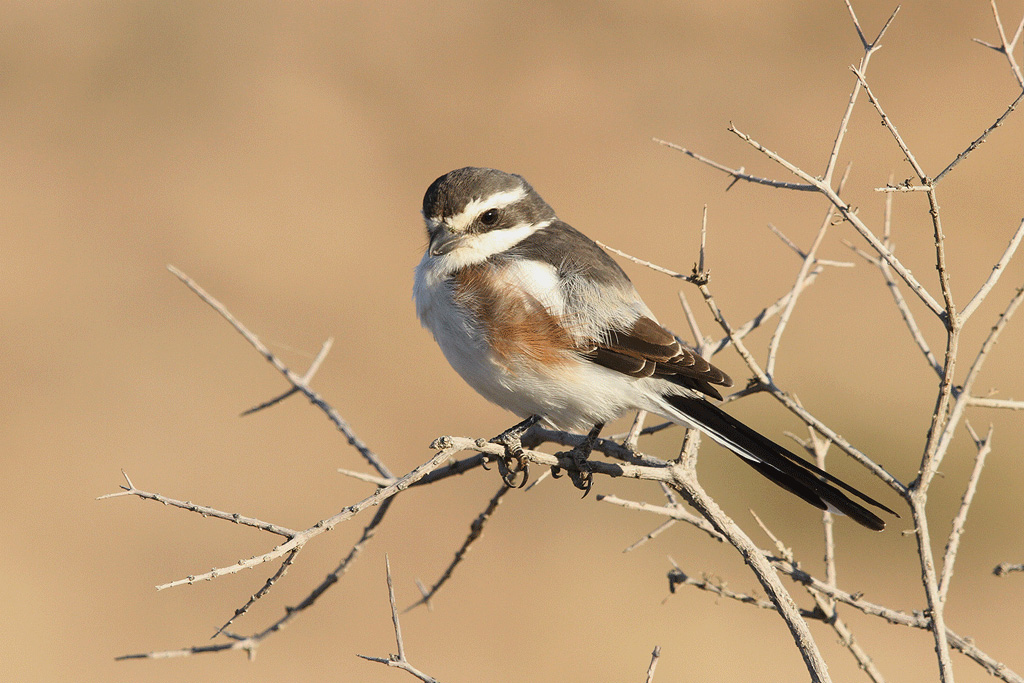 Common Fiscal (Subcoronatus) / Nossop to Grootkolk, Kgalagadi Transfrontier Park, South Africa / June 2013