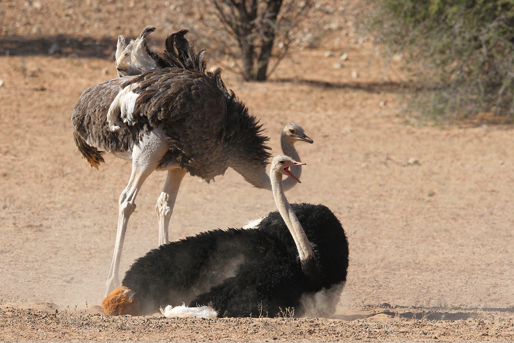 Common Ostrich / Kgalagadi Transfrontier Park, South Africa / June 2014