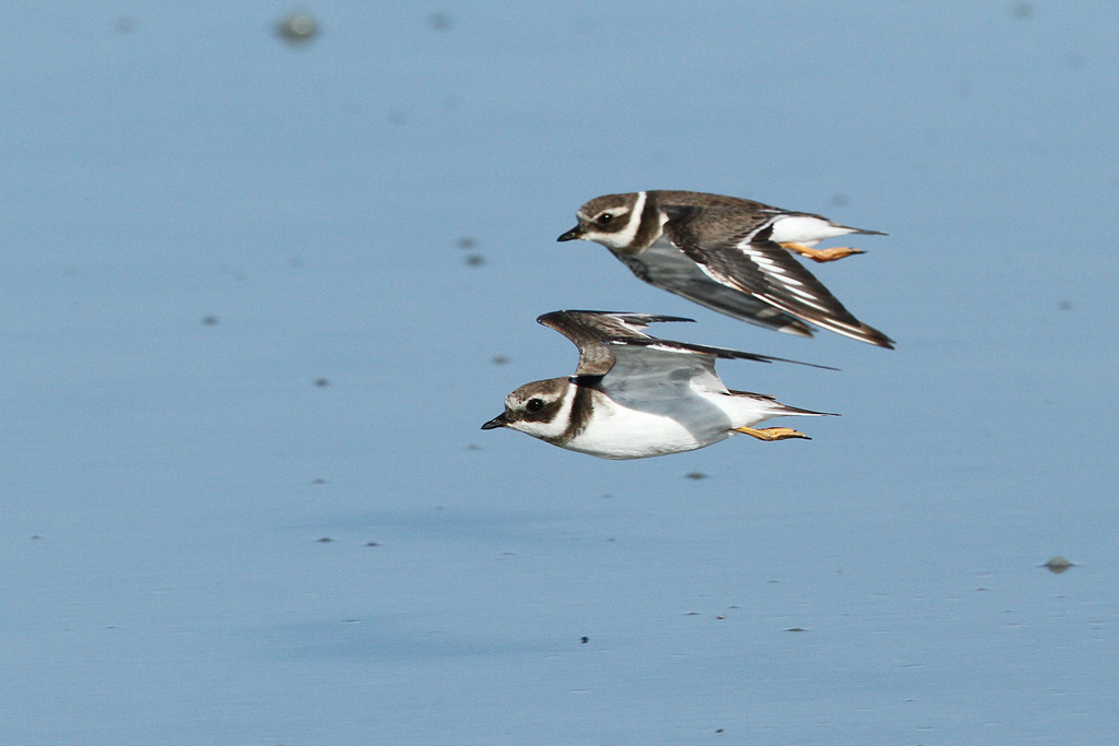 Common Ringed Plover / Llandudno, South Africa / 28 January 2014