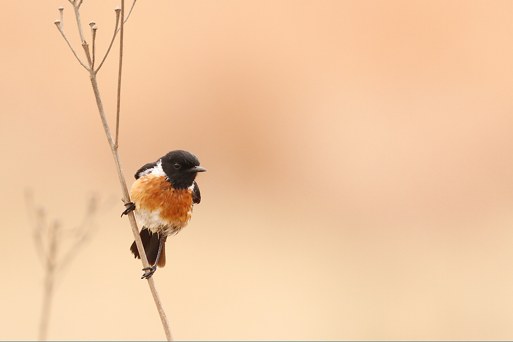 Common Stonechat – Rietvlei Nature Reserve, South Africa – 12 October 2014 3 WEB