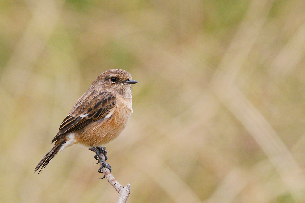 African Common Stonechat (female) / Rietvlei Nature Reserve, South Africa / 28 February 2015