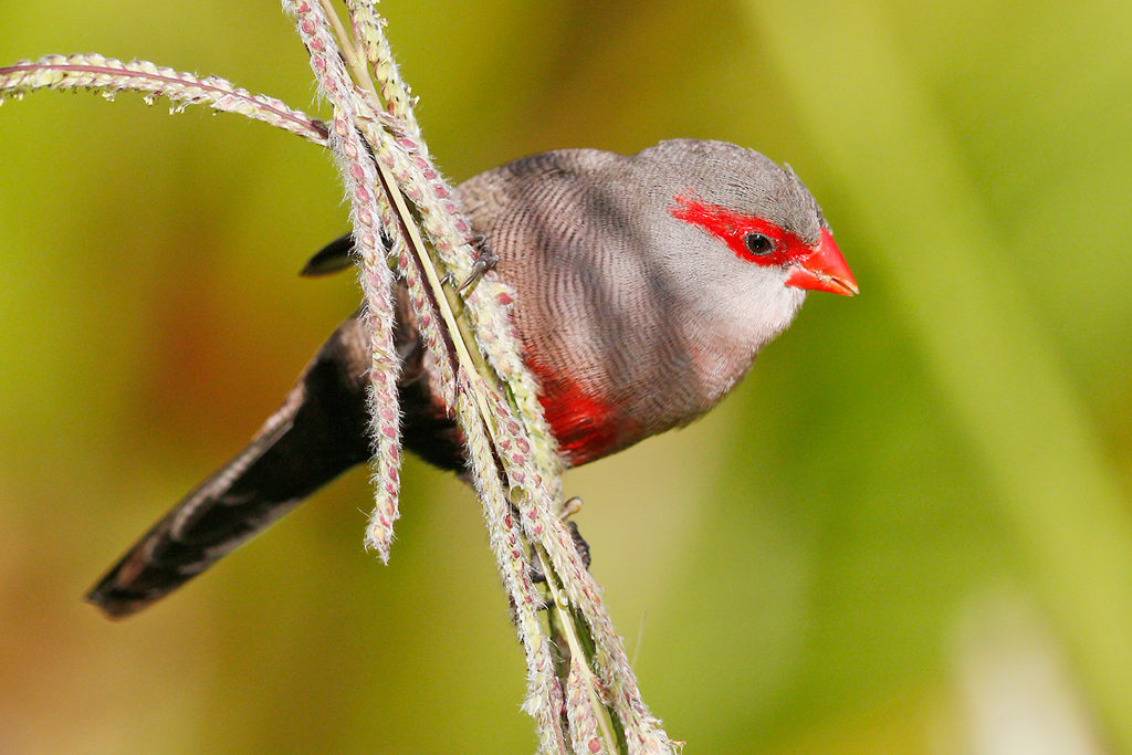 Common Waxbill / Kirstenbosch Gardens, Cape Town, South Africa / 23 December 2014