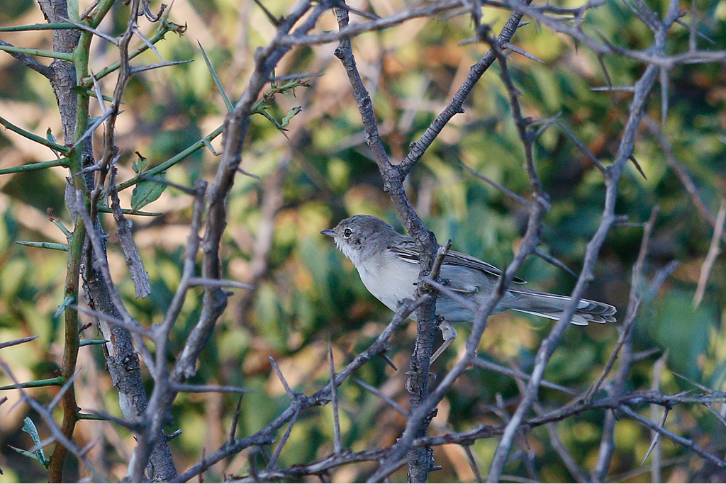 Common Whitethroat / Zaagkuildrift, North West Province, South Africa / 17 January 2015
