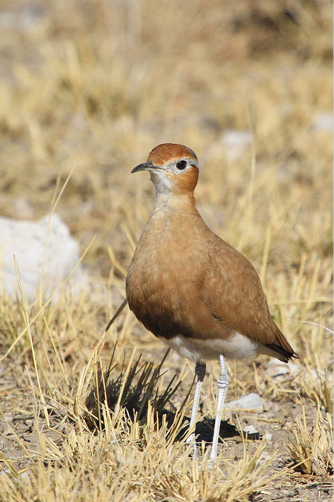 Burchell's Courser / Dolomite Watering Hole, Etosha, Northern Namibia / 16 July 2012