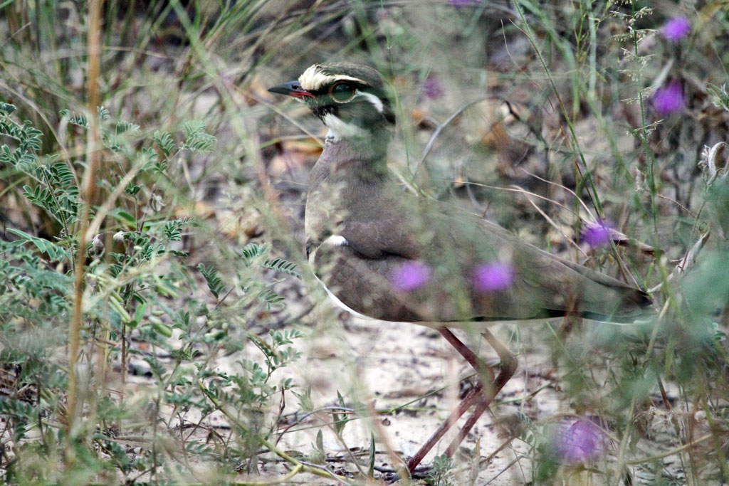 Bronze-winged Courser / Nxai Pan, Botswana / 18 April 2011