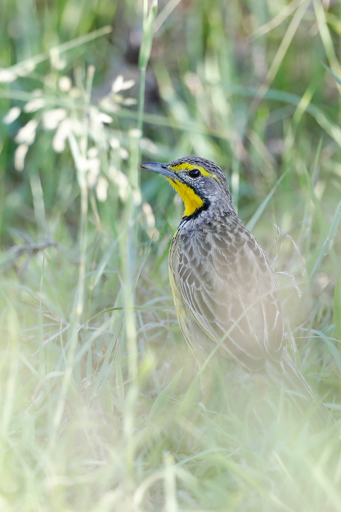 Yellow-throated Longclaw / Coutada 11 floodplain, Mozambique / December 2019