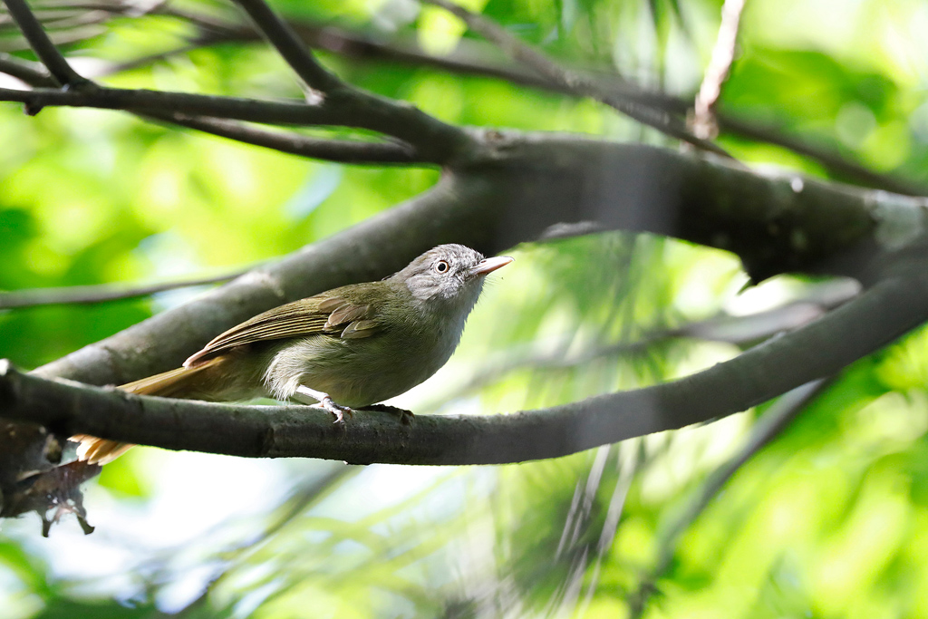 Lowland Tiny Greenbul / Coutada 11, Mozambique / December 2019