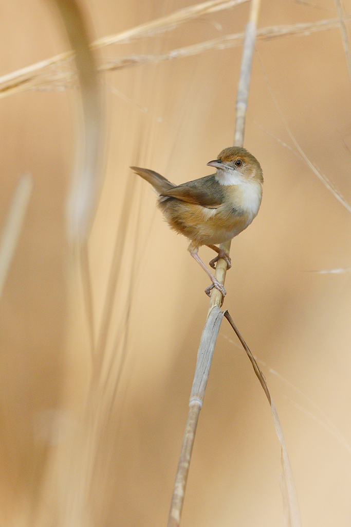 Red-faced Cisticola / Coutada 12, Mozambique / 09 October 2015