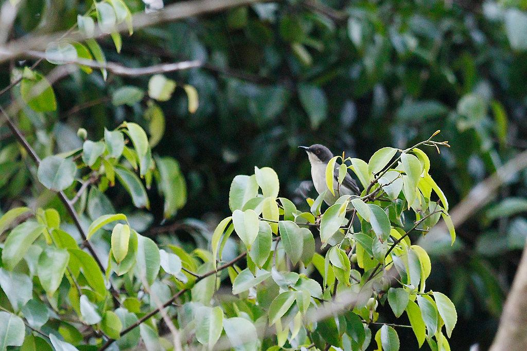 Black-headed Apalis / Lowland Forest, Coutada 11, Mozambique / 12 October 2015